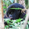 Eating bamboo and Berries