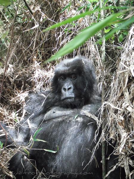 Female Gorilla in grass