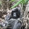 Female Gorilla in grass