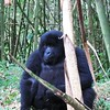 Female Gorilla sitting in Bamboo forest