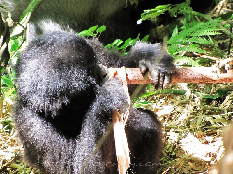 Baby Gorilla eating bamboo