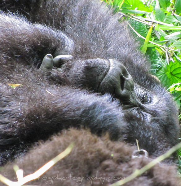 Gorilla laying down