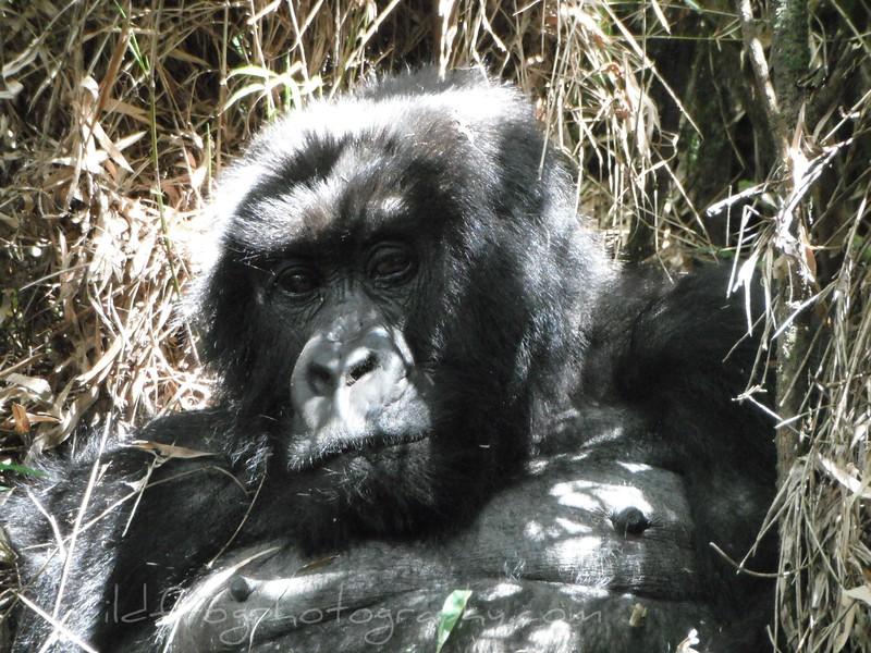 Gorilla in grass