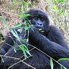 Female Gorilla eating bamboo