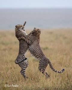 Cheetah siblings playing