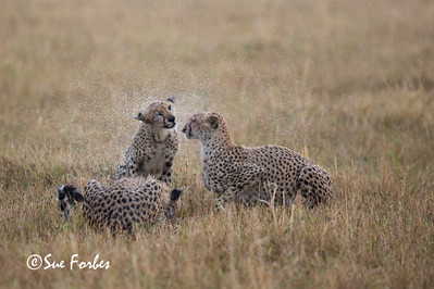 Cheetah family feeding in the rain
