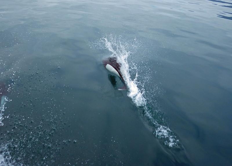 Dall's Porpoise<br /> Resurrection Bay