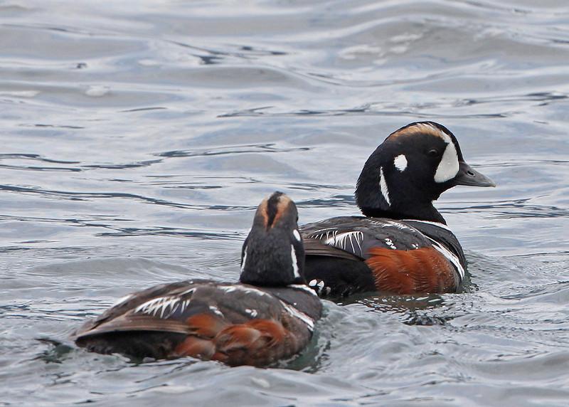 Harlequin Duck<br /> Seward/Resurrection Bay