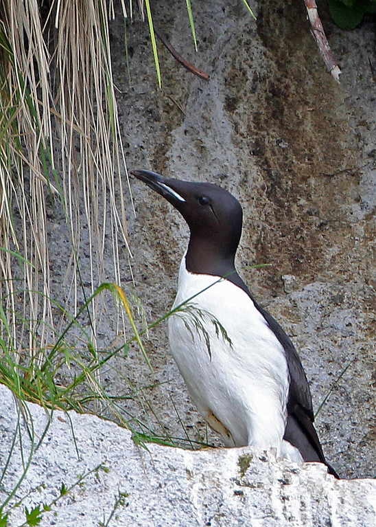 Thick-billed Murre<br /> Kenai Fjords NP