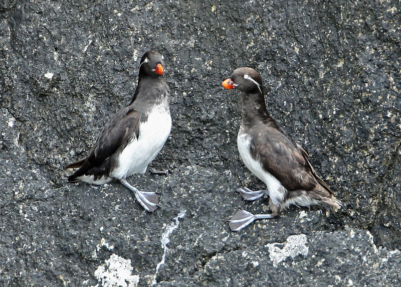 Parakeet Auklet<br /> Kenai Fjords NP