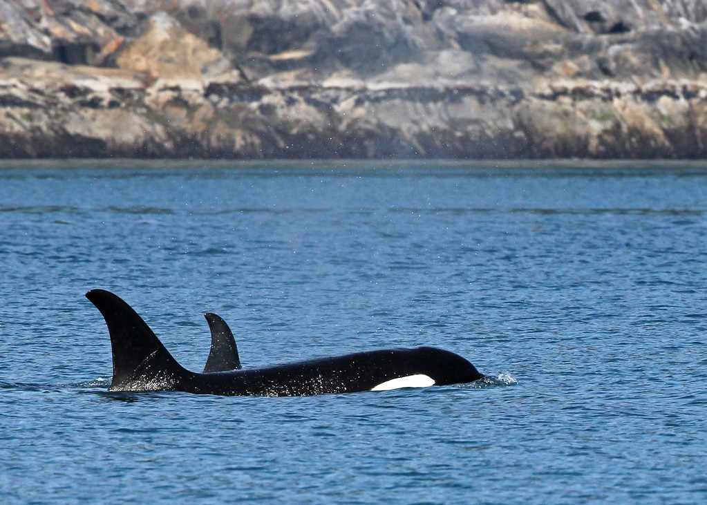 Orca<br /> Kenai Fjords NP