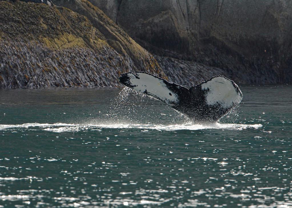 Humpback Whale <br /> Kenai Fjords NP
