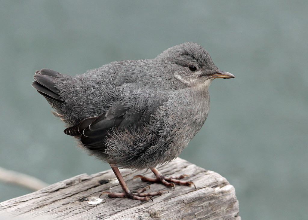 American Dipper<br /> Coppers Landing