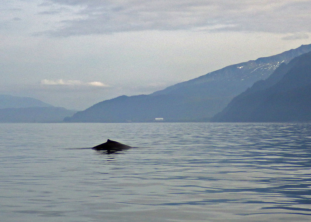 Humpback Whale<br /> Resurrection Bay