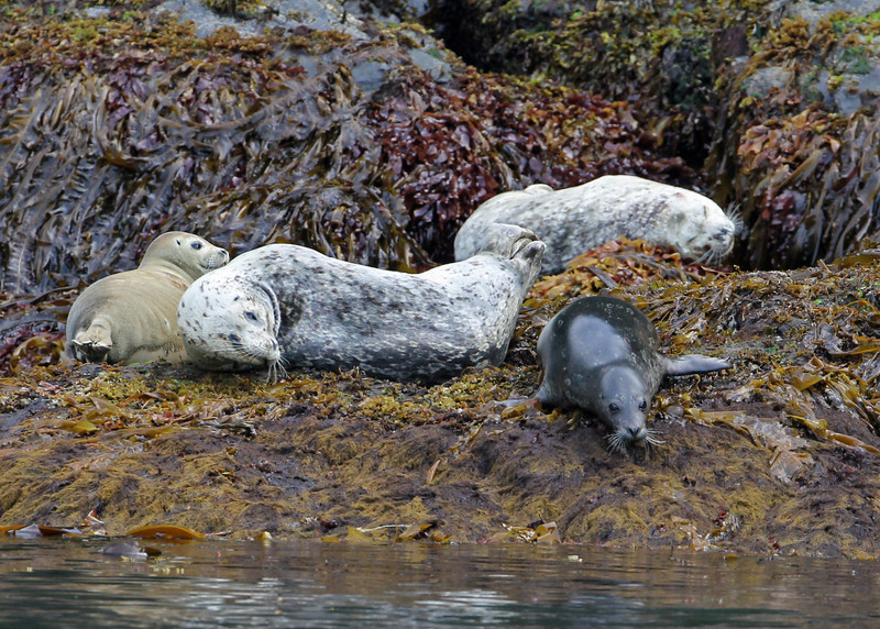 Stellar Sea Lion<br /> Kenai Fjords NP