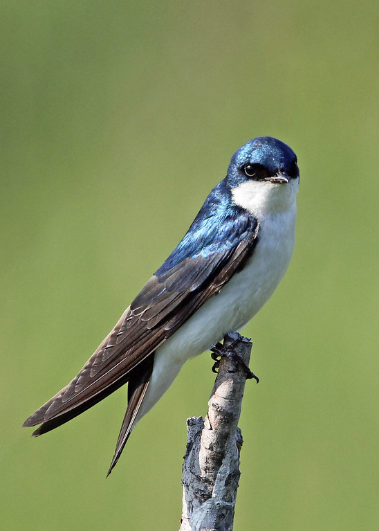 Tree Swallow<br /> Potter Marsh, Anchorage