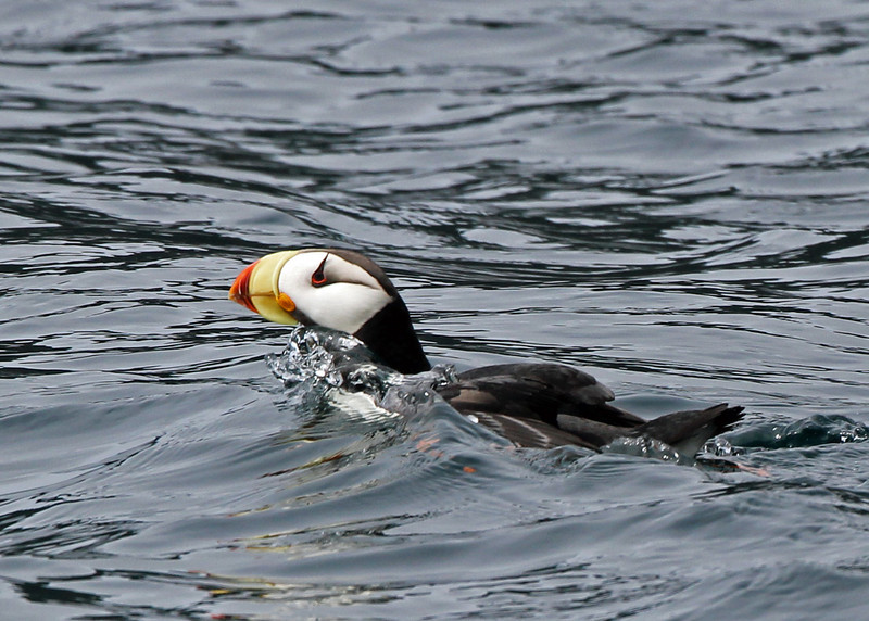 Horned Puffin<br /> Kenai Fjords NP
