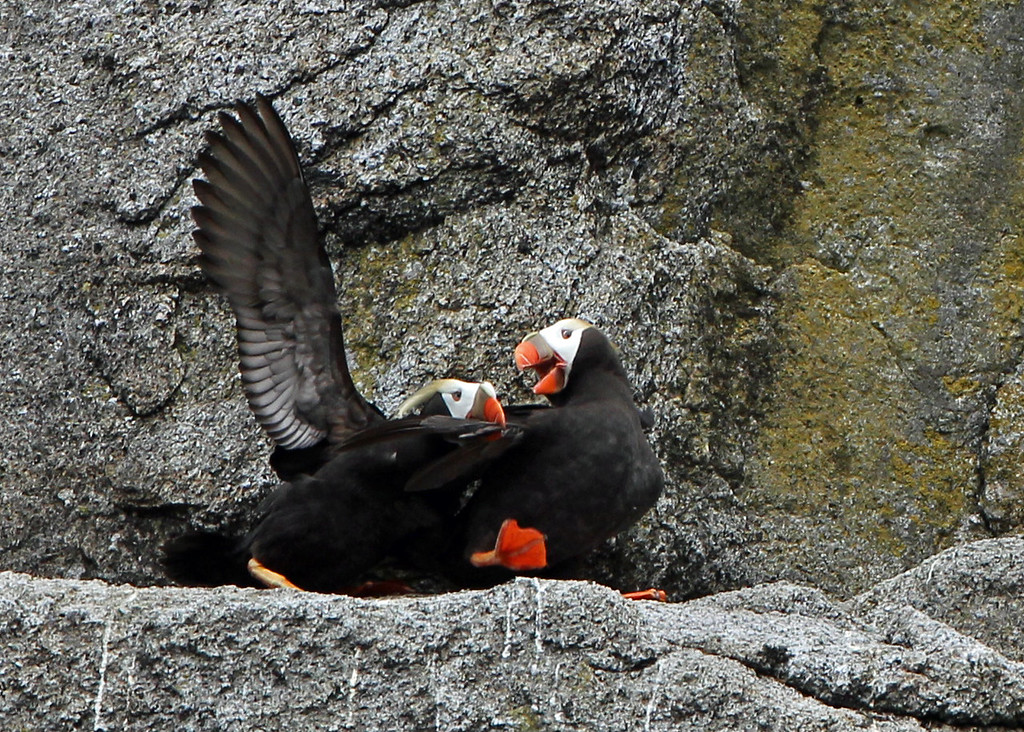 Tufted Puffin<br /> Kenai Fjords NP