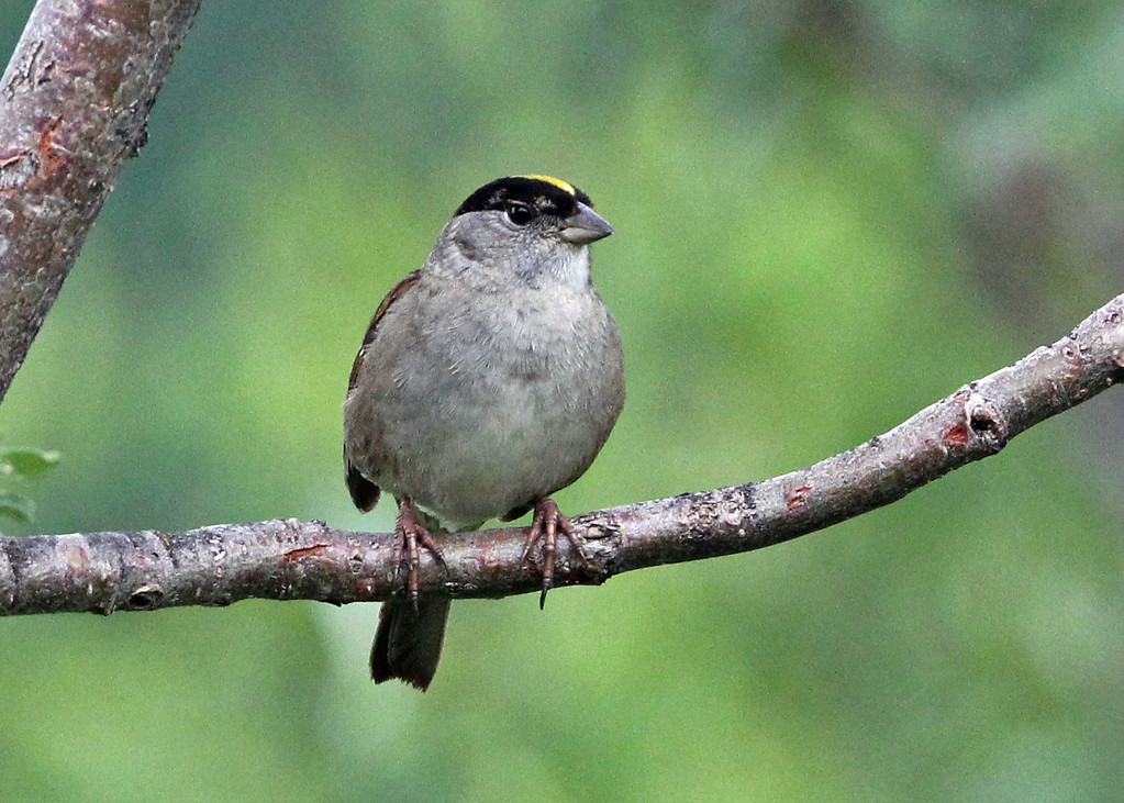 Golden-crowned Sparrow<br /> Sterling Hwy.