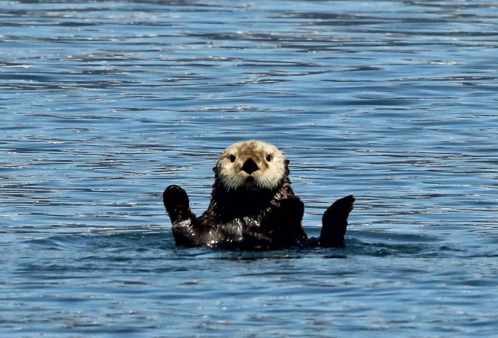 Sea Otter<br /> Kenai Fjords NP
