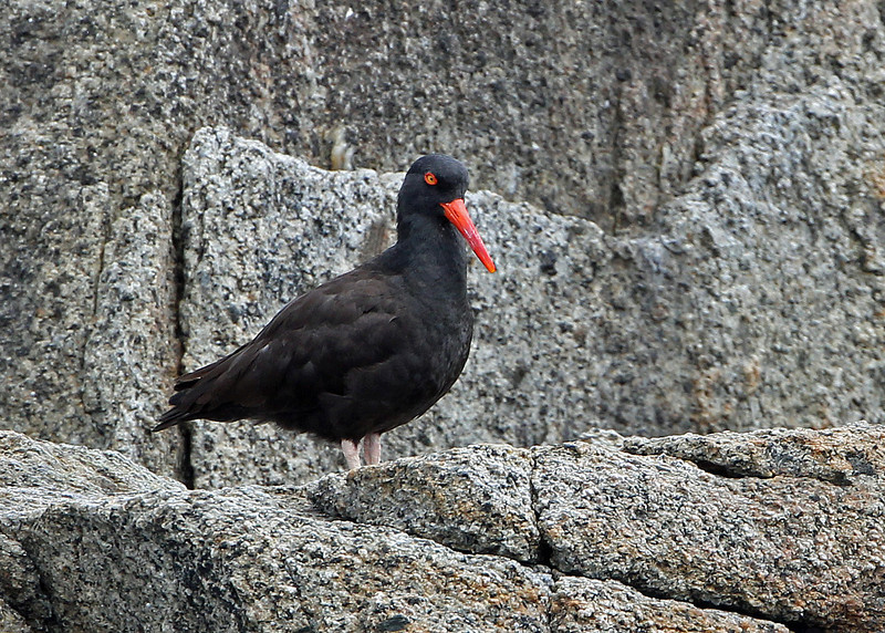 Black Oystercatcher<br /> Kenai Fjords NP