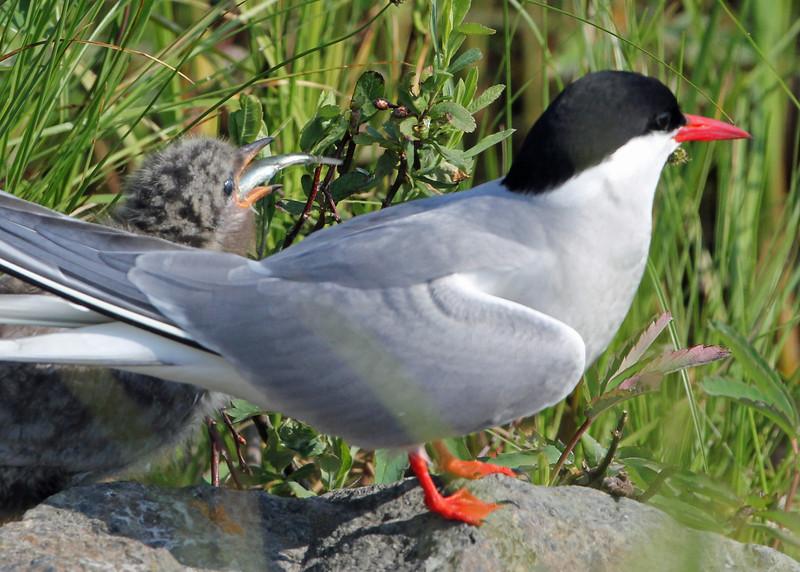Artic Tern<br /> Potter Marsh, Anchorage