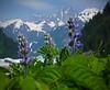 Lupins bloom near Shakes Glacier, Wrangell, AK, #0414