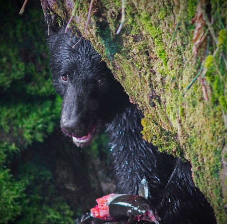 Black bear watching over his salmon, Anan Creek , Alaska, #0445