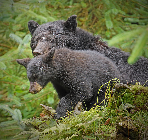 Black bears - cub and sow, Anan Creek, Alaska, #0386