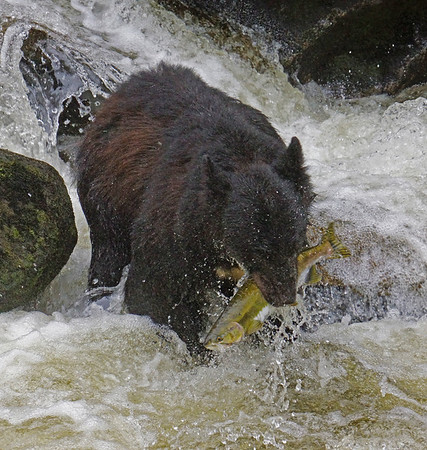 Black bear fishing for salmon, Anan Creek, Alaska, #0389