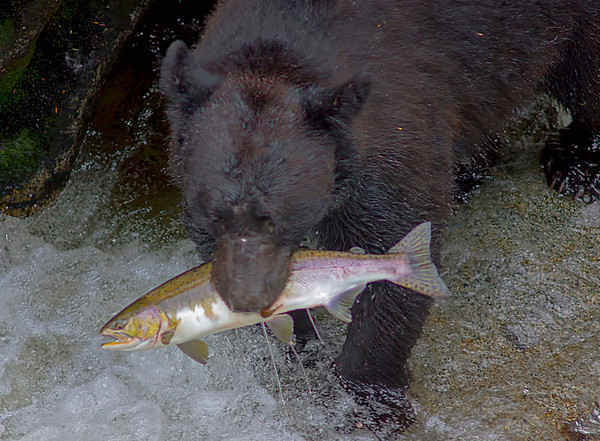 Black bear fishing for salmon, Anan Creek, Alaska, #0396