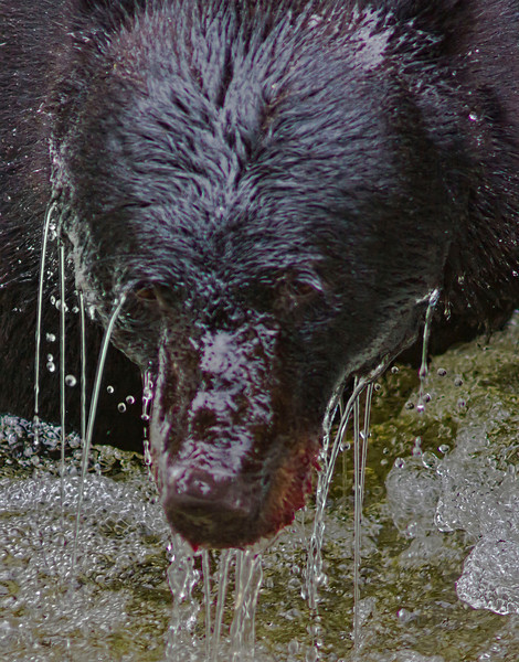 Dripping wet black bear at Anan River, fishing for salmon, #0467