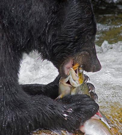 Black bear fishing for salmon, Anan Creek, Alaska, #0401