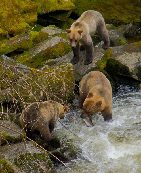 Sow and cub Grizzly bears fishing at Anan Creek, Alaska, #0447