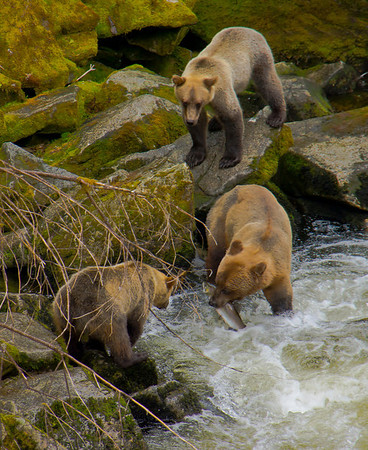 Sow and cub Grizzly bears fishing at Anan Creek, Alaska, #0447