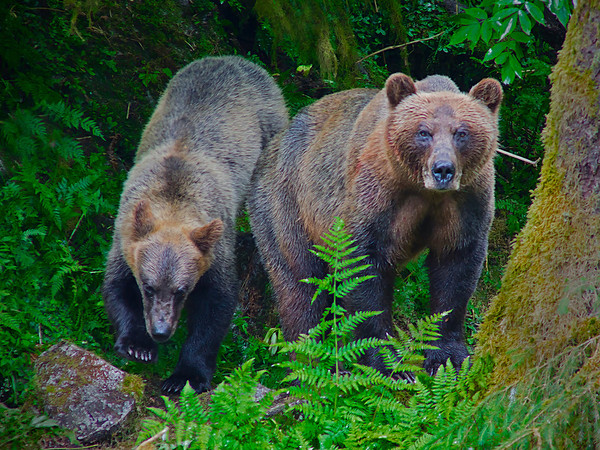 Juvenile and sow grizzly bear, Anan Creek, Alaska, #0399
