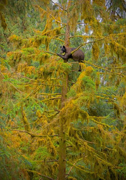 Treed cub black bear, Anan, AK, #0403
