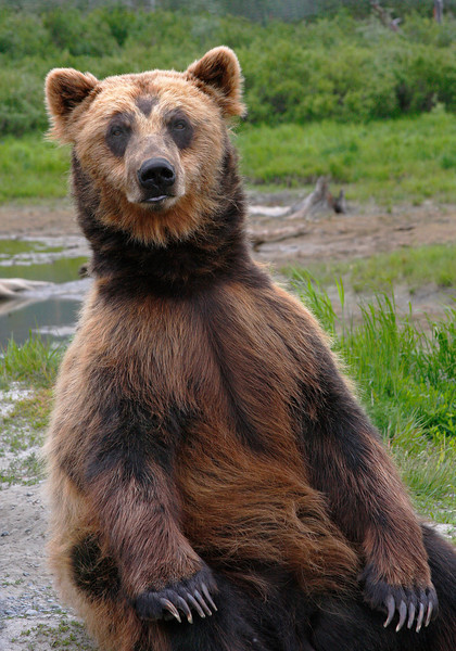 Alaskan Grizzly Bear  - #0029