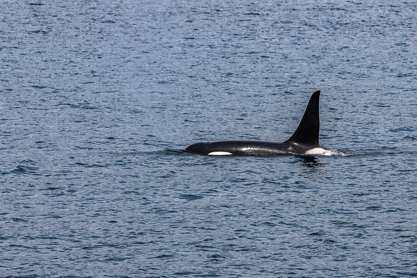 Orca surfacing in Alaska