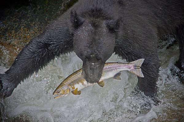 Black bear fishing for salmon, Anan Creek, Alaska, #0397