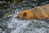 Grizzly bear fishing for salmon, Anan Creek, Alaska, #0393