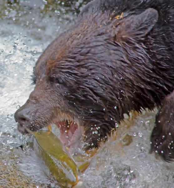 Black bear fishing for salmon, Anan Creek , Alaska, #0402