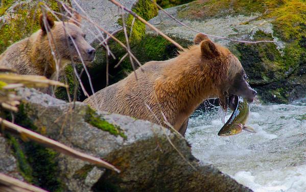 Grizzly bear fishing for salmon, AnanCreek , Alaska, #0400