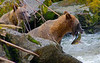 Grizzly bear fishing for salmon, AnanCreek , Alaska, #0400
