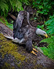 Alaskan bald eagle, #0449