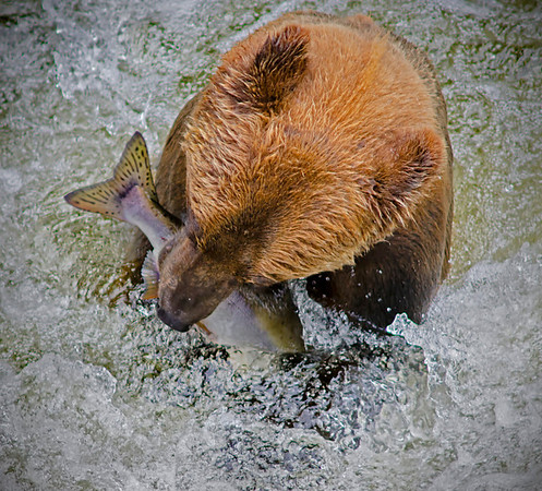 Grizzly bear made his catch for salmon, Anan Creek, Alaska, #0395