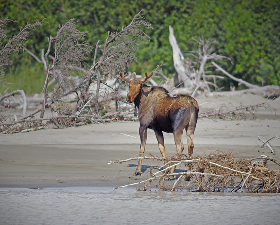 Bull Moose comes out of the water near Wrangell, AK, #0417