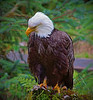 Alaskan bald eagle, #0450