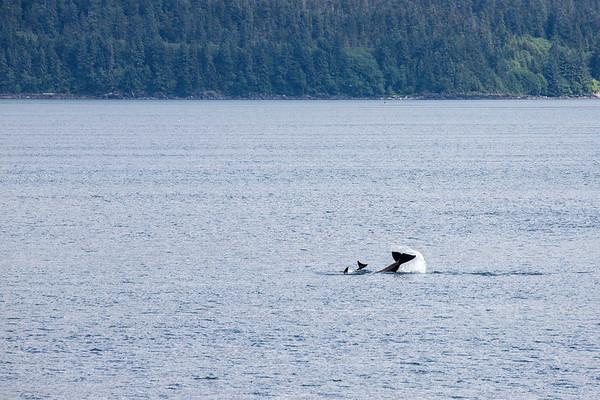 Orca pod diving in Alaska