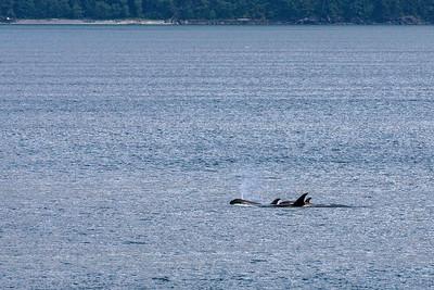 Orca pod in Alaska